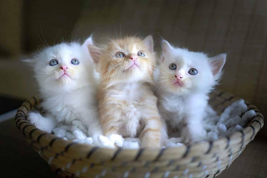 3 Cute Kittens in a Basket